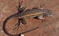 Plateau Fence Lizard (Sceloporus tristichus) Arizona