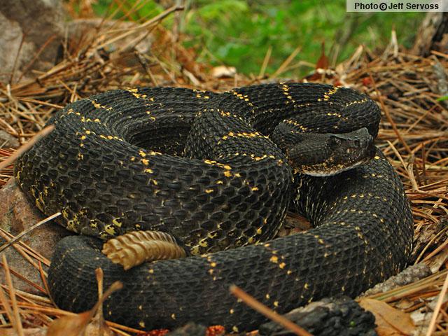 Arizona Black Rattlesnake (Crotalus cerberus) Arizona